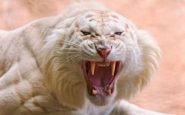 Papel de parede Tigre Branco Rugindo