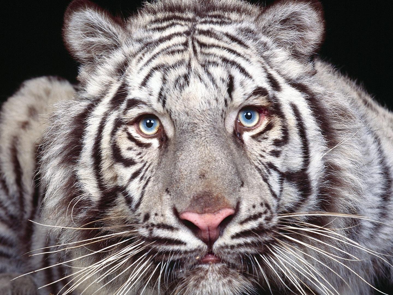 Papel De Parede Tigre Branco De Olhor Azuis Wallpaper Para