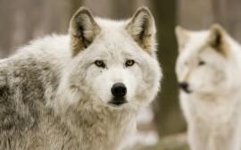 Papel de parede Lobos Brancos