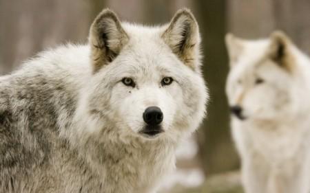 Papel de parede Lobos Brancos para download gratuito. Use no computador pc, mac, macbook, celular, smartphone, iPhone, onde quiser!