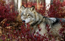 Papel de parede Lobo Entre Folhas Vermelhas