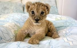 Papel de parede Filhote de Leão na Cama