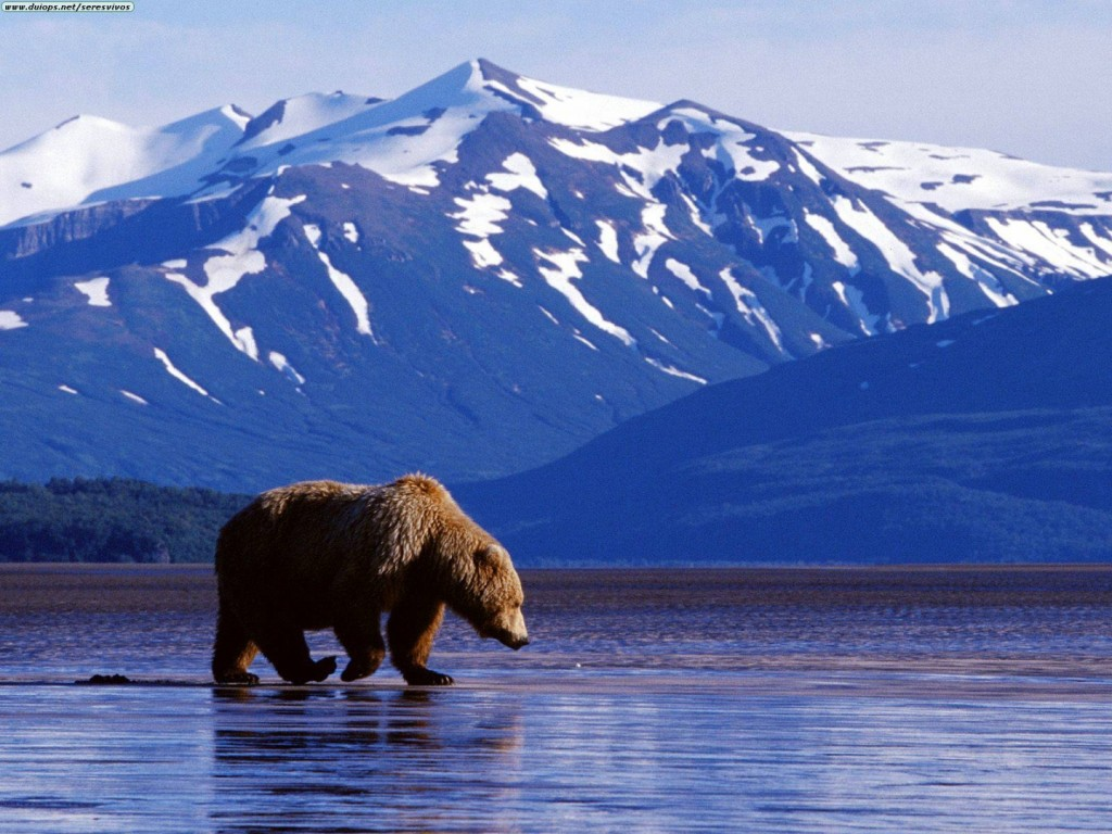 Papel de parede Urso Pescando no Alaska para download gratuito. Use no computador pc, mac, macbook, celular, smartphone, iPhone, onde quiser!