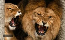 Papel de parede Leão E Leoa Rugindo