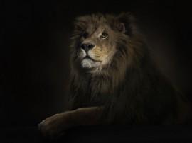 Papel de parede Pintura de Leão