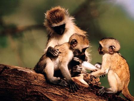 Papel de parede Família de Macacos para download gratuito. Use no computador pc, mac, macbook, celular, smartphone, iPhone, onde quiser!