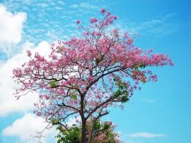 Papel de parede Árvore de Flor de Cerejeira
