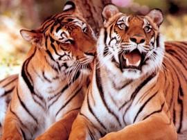 Papel de parede Carinho de Tigres