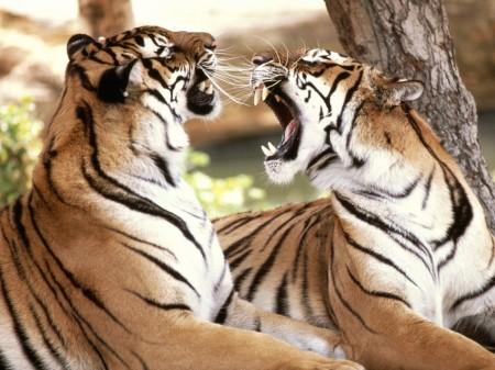 Papel de parede Tigres Rugindo para download gratuito. Use no computador pc, mac, macbook, celular, smartphone, iPhone, onde quiser!