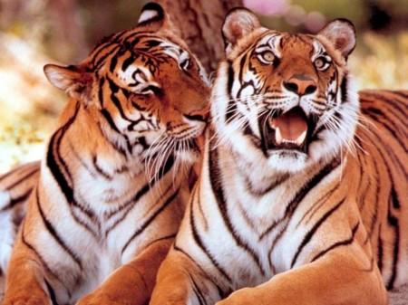 Papel de parede Carinho de Tigres para download gratuito. Use no computador pc, mac, macbook, celular, smartphone, iPhone, onde quiser!