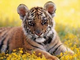 Papel de parede Jovem Tigre
