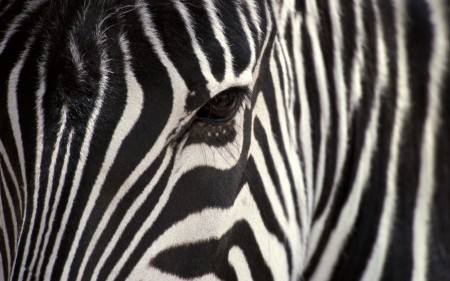 Papel de parede Zebra para download gratuito. Use no computador pc, mac, macbook, celular, smartphone, iPhone, onde quiser!