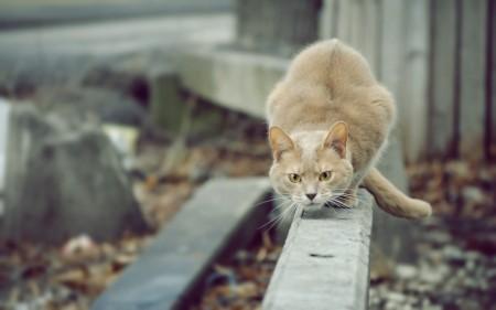 Papel de parede Gato Em Posição de Ataque para download gratuito. Use no computador pc, mac, macbook, celular, smartphone, iPhone, onde quiser!