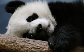 Papel de parede Bebê Panda Dormindo