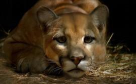 Papel de parede Puma Atento