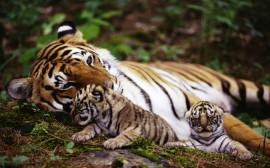 Papel de parede Tigre Deitado com FIlhotes