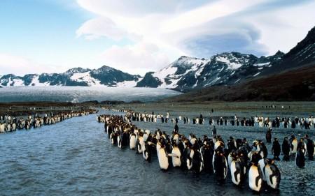 Papel de parede Pinguins Chegando na Água para download gratuito. Use no computador pc, mac, macbook, celular, smartphone, iPhone, onde quiser!