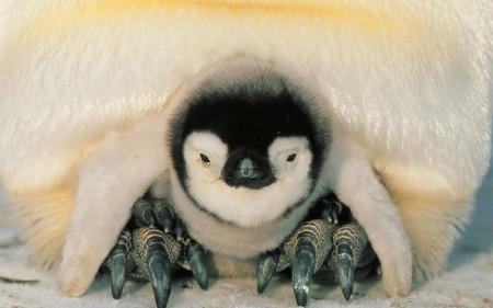 Papel de parede Filhote de Pinguim Entre as Patas do Pai para download gratuito. Use no computador pc, mac, macbook, celular, smartphone, iPhone, onde quiser!