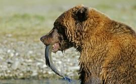 Papel de parede Urso com Peixe na Boca