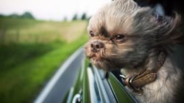 Papel de parede Cachorro na Janela do Carro