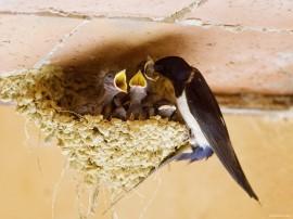 Papel de parede Andorinha: Alimentando Filhotes