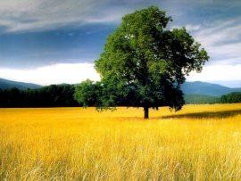 Papel de parede Árvore e o Campo