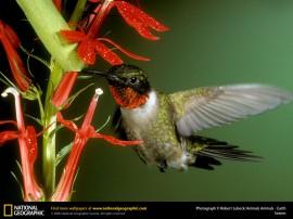 Papel de parede Beija-Flor na Natureza