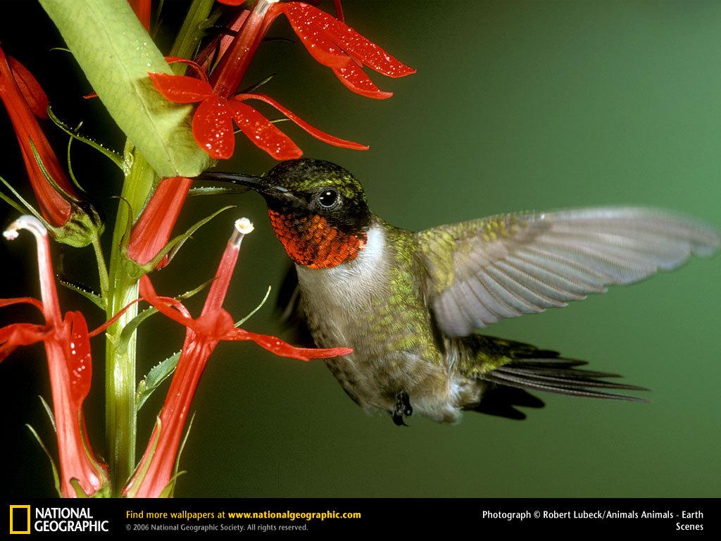 Papel de parede Beija-Flor na Natureza para download gratuito. Use no computador pc, mac, macbook, celular, smartphone, iPhone, onde quiser!