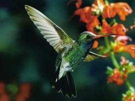 Papel de parede Beija-Flor Esverdeado Voando