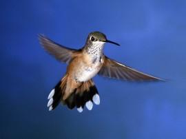 Papel de parede Beija-Flor Voando
