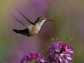 Papel de parede Beija-Flor – Pássaro