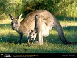 Papel de parede Canguru – Mãe Protetora