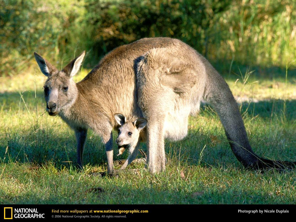 Papel de parede Canguru – Mãe Protetora para download gratuito. Use no computador pc, mac, macbook, celular, smartphone, iPhone, onde quiser!