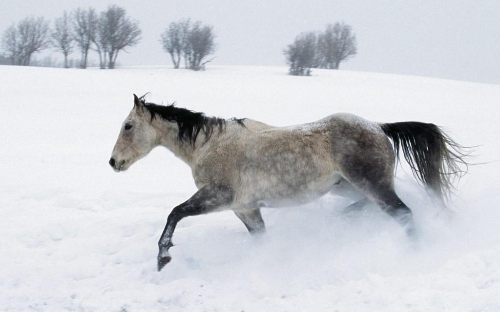 Papel de parede Cavalo – Correndo na Neve para download gratuito. Use no computador pc, mac, macbook, celular, smartphone, iPhone, onde quiser!