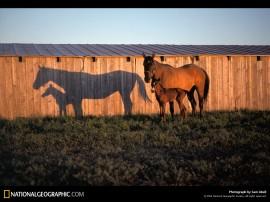 Papel de parede Cavalo – Sombra