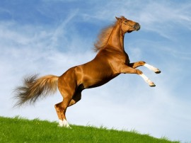 Papel de parede Cavalo – Salto
