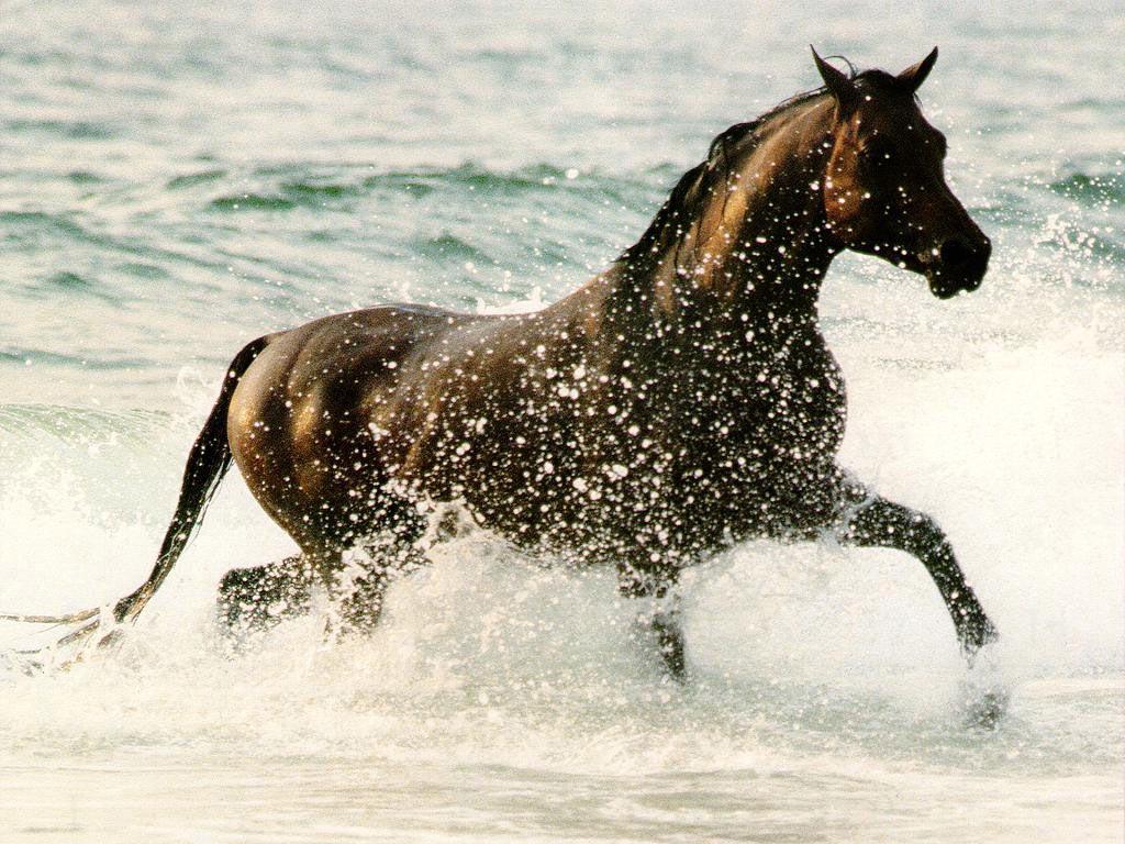 Papel de parede Cavalo – Na Água para download gratuito. Use no computador pc, mac, macbook, celular, smartphone, iPhone, onde quiser!
