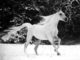 Papel de parede Cavalo – Branco