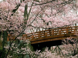 Papel de parede Cerejeiras na Ponte