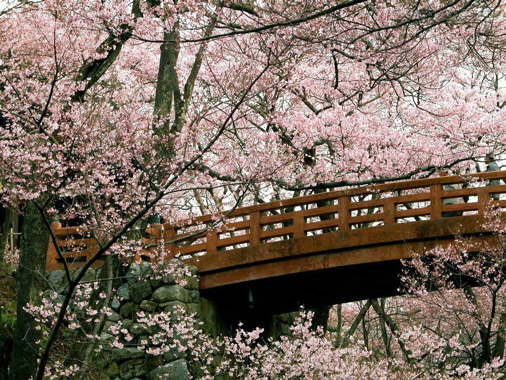 Papel de parede Cerejeiras na Ponte para download gratuito. Use no computador pc, mac, macbook, celular, smartphone, iPhone, onde quiser!