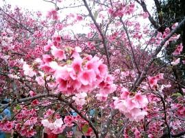 Papel de parede Cerejeiras Floridas