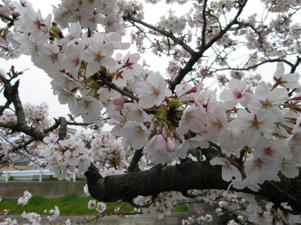 Papel de parede Cerejeira Branca em Flor para download gratuito. Use no computador pc, mac, macbook, celular, smartphone, iPhone, onde quiser!