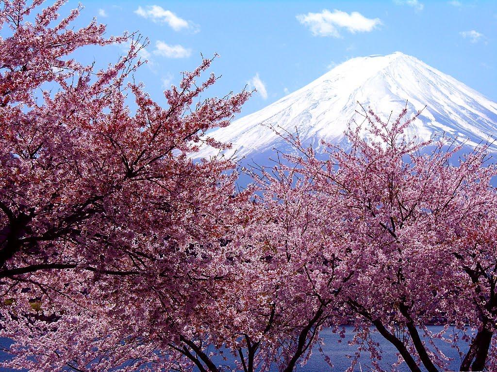 Papel de parede Cerejeiras e Monte Fuji para download gratuito. Use no computador pc, mac, macbook, celular, smartphone, iPhone, onde quiser!