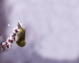 Papel de parede Pássaro e Cerejeira