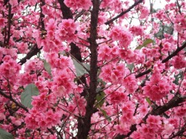 Papel de parede Flores de Cerejeira Rosa