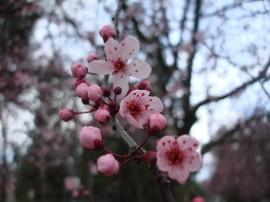 Papel de parede Flores e Botões de Cerejeira