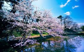 Papel de parede Cerejeiras na Margem do Lago