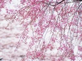 Papel de parede Galhos com Flores de Cerejeira