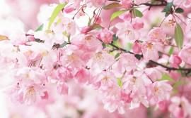 Papel de parede Flores Delicada de Cerejeira