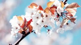 Papel de parede Flores de Cerejeira Branca